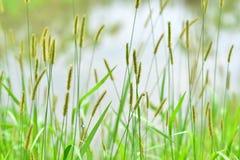Mauvaise herbe de vulpin dans le water& x27 ; bord de s Image libre de droits