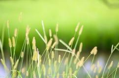 Mauvaise herbe de vulpin dans le water& x27 ; bord de s Photo stock