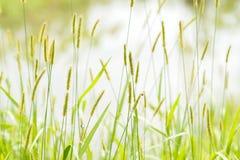 Mauvaise herbe de vulpin en bord de l'eau Photos stock