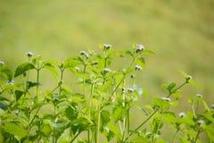 Mauvaise herbe du Siam Photo libre de droits