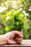 Mauvaise herbe du Siam, houstonianum d'Ageratum Image stock