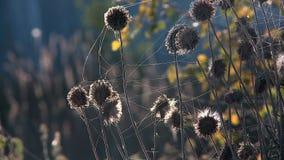 Mauvaise herbe en Web éclairé à contre-jour pendant le matin clips vidéos