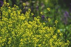 Mauvaise herbe jaune de floraison de wildflowers Photo libre de droits