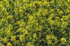 Mauvaise herbe jaune de floraison de wildflowers Image libre de droits