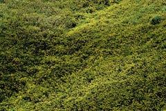 Mauvaise herbe jaune de tournesol mexicain Photographie stock libre de droits