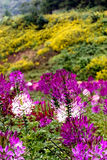 Mauvaise herbe jaune de tournesol mexicain Image stock