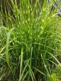 Mauvaise herbe verte luxuriante à la berge et au secteur central de jardins photographie stock libre de droits
