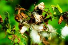 Mauvaises herbes allant semer Photos libres de droits