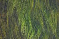 Mauvaises herbes aquatiques de long vert en rivière Photographie stock libre de droits