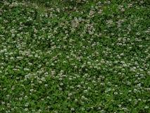 Mauvaises herbes d'herbe de trèfle Photos libres de droits