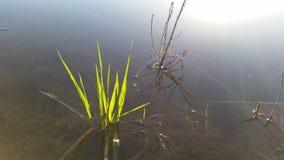 Mauvaises herbes dans l'eau photos libres de droits