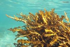 Mauvaises herbes de mer en eau peu profonde image stock