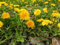Mauvaises herbes de pissenlit Image stock
