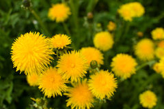 Mauvaises herbes de pissenlit de ressort Photos libres de droits