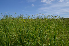 Mauvaises herbes indigènes Image stock