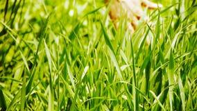 Mauvaises herbes luxuriantes en vent, prairie, jeune plante de blé, orge, sauvage-herbes, légumes banque de vidéos