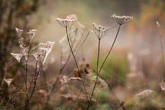 Mauvaises herbes sèches d'automne couvertes par des fils de toile d'araignée Image libre de droits