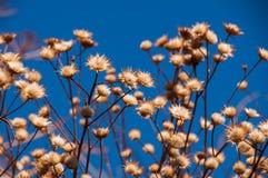 Mauvaises herbes sèches en beau ciel bleu Images libres de droits