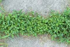 Mauvaises herbes s'élevant en trottoir Images stock