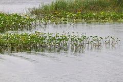 Mauvaises herbes sur un lac Photographie stock