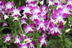 Mauve и покрашенная белизной тропическая орхидея Стоковое фото RF