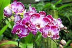 Mauve и покрашенная белизной тропическая орхидея Стоковые Изображения