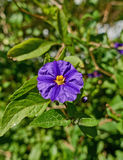 Mauve карлика крупный план цветка lilly Стоковые Фотографии RF