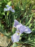2 mauve цветка Стоковые Фотографии RF