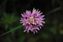 Mauve цветок Стоковое Фото
