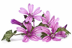 Mauve. Mauve flowers isolated on a white background Royalty Free Stock Photos