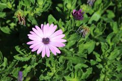 Mauve African Daisy Stock Images