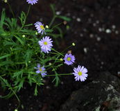 Mauve Aster In Bloom Stock Photos
