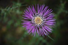 Mauve bloem Stock Afbeeldingen