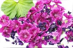 Mauve bloemen verse pasklaar met blad Stock Afbeeldingen