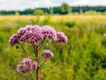 Mauve bloemhoofden van hennep-agrimony van het sluiten Stock Foto's