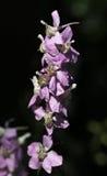 Mauve blomma Fotografering för Bildbyråer