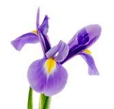 Mauve, blue iris flower, close up, isolated white background Stock Photos