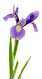 Mauve, blue iris flower, close up, isolated white background Royalty Free Stock Image