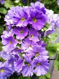 Mauve coloured primula flowering in spring. Mauve coloured primula with large petals and green leaves flowering in spring stock photo