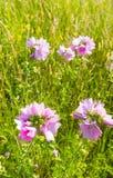 Mauve commune fleurissante pourpre rosâtre lumineuse de fin Images libres de droits