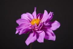 Mauve dahlia flower. On black background Stock Images