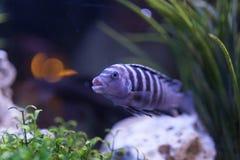 Mauve fish Royalty Free Stock Image