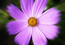 Mauve flower Royalty Free Stock Photos