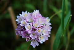 Mauve flower. Growing in wild field Royalty Free Stock Photo