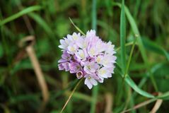 Mauve flower. Growing in wild field Royalty Free Stock Photography