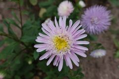Mauve flowerhead of china aster from above. Mauve flower head of china aster from above Royalty Free Stock Photography