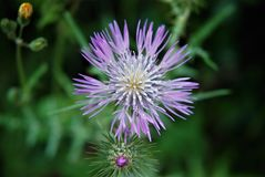 Mauve flower. Mauve thistle flower growing in a field Stock Image