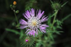 Mauve flower. Mauve thistle flower growing in a field Royalty Free Stock Image