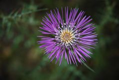 Mauve flower. Mauve thistle flower growing in a field Stock Images