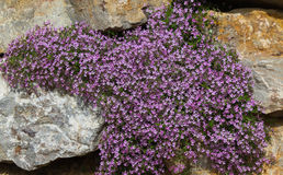 Mauve flowers Saponaria ocymoides Royalty Free Stock Photos